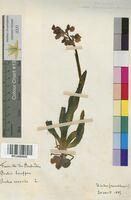 Orchis morio (Orchidaceae)