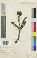 Orchis sambucina (Orchidaceae)
