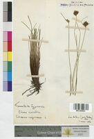 Schoenus nigricans (Cyperaceae)