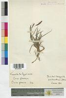 Carex glauca (Cyperaceae)