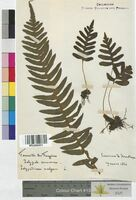 http://bibliotheque-virtuelle.clermont-universite.fr/files/fichiers_bcu/Polypodium_vulgare_MTLUCO0071.jpg