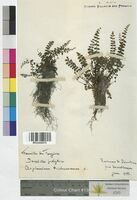 Asplenium trichomanes (Aspleniaceae)