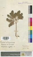 Euphorbia cyparissias (Euphorbiaceae)