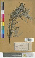 Salix eleagnos (Salicaceae)