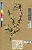 Ranunculus fluitans (Ranunculaceae)
