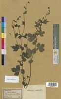 Geum urbanum (Rosaceae)