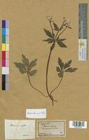 Ranunculus aconitifolius (Ranunculaceae)