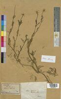 Adonis flammea (Ranunculaceae)