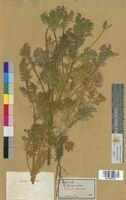 Adonis annua (Ranunculaceae)