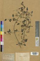 Clematis recta (Ranunculaceae)
