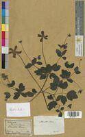 Clematis viticella (Ranunculaceae)