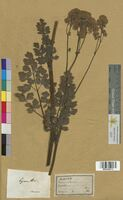 Thalictrum sp. (Ranunculaceae)