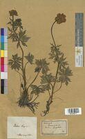 Trollius europaeus (Ranunculaceae)