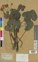 Caltha palustris (Ranunculaceae)