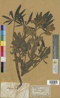 Helleborus foetidus (Ranunculaceae)