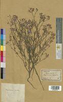 Delphinium consolida (Ranunculaceae)