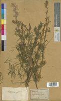Delphinium ajacis (Ranunculaceae)