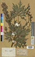 Aconitum napellus (Ranunculaceae)