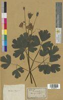 Aquilegia vulgaris (Ranunculaceae)