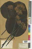 Nymphaea alba (Nymphaeaceae)