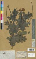 Glaucium flavum (Papaveraceae)