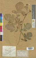 Sinapis alba (Brassicaceae)