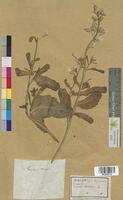 Brassica oleracea (Brassicaceae)