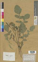 Brassica nigra (Brassicaceae)
