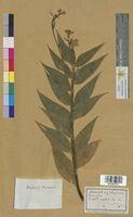 Hesperis matronalis (Brassicaceae)