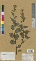 Cheiranthus incanus (Brassicaceae)