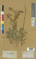 Cheiranthus cheiri (Brassicaceae)