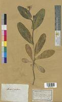 Brassica perfoliata (Brassicaceae)