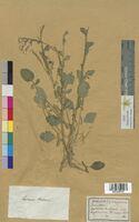 Erysimum barbarea (Brassicaceae)