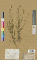 Erysimum praecox (Brassicaceae)