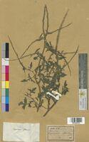 Sisymbrium officinale (Brassicaceae)