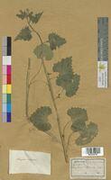 Sisymbrium alliaria (Brassicaceae)