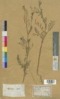 Sisymbrium sophia (Brassicaceae)