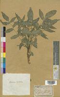 Nasturtium officinale (Brassicaceae)
