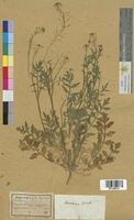 Sisymbrium sylvestre (Brassicaceae)