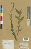 Arabis perfoliata (Brassicaceae)