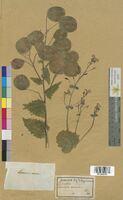 Lunaria annua (Brassicaceae)