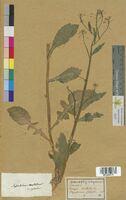 Sisymbrium palustre (Brassicaceae)