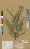 Cochlearia armoracia (Brassicaceae)