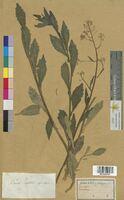Camelina aquatica (Brassicaceae)
