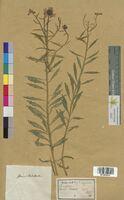 Iberis violletii (Brassicaceae)