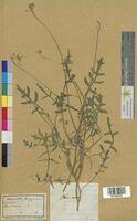 Iberis amara (Brassicaceae)