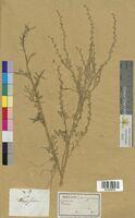Thlaspi sativum (Brassicaceae)