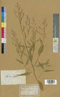 Lepidium latifolium (Brassicaceae)