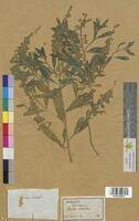 Reseda odorata (Resedaceae)