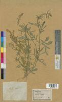 Reseda lutea (Resedaceae)